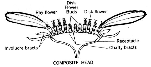 Parts of a composite flower pictures to pin on pinterest thepinsta composite flower diagram with parts labeled bing images 573x392 composite ccuart Image collections