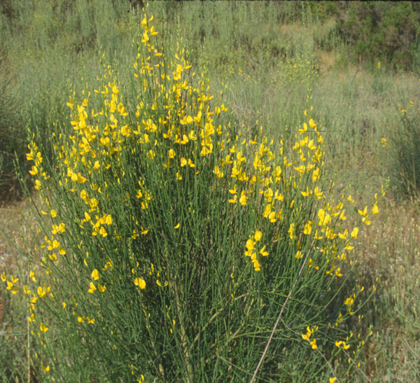 Guide to poisonous plants college of veterinary medicine and scotch broom mightylinksfo
